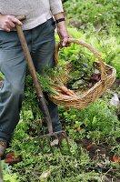 Gardener picking vegetables
