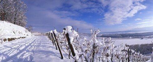 Weinberg im Schnee, Brackenheim, Württemberg, Deutschland
