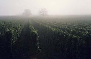 Weinberg im Nebel, Rheingau, Deutschland