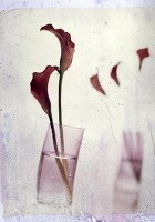 Red calla lilies in a glass