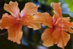 Zwei Hibiskusblüten