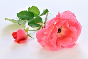 Pinkroses, in bloom and a bud