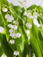 Lilies of the valley (close-up)