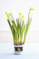 Narcissi in flowerpot