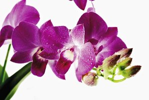 Purple orchid with drops of water (close-up)