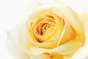 Yellow rose with drops of water (close-up)