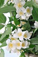 Jasmine flowers (close-up)