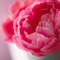 Close Up of a Pink Peony