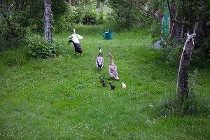 Laufenten mit Küken im Garten