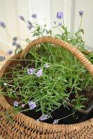 Purple-flowering plant in basket