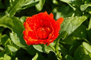 A marigold (close-up)
