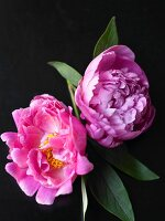 Two Peonies on a Black Background