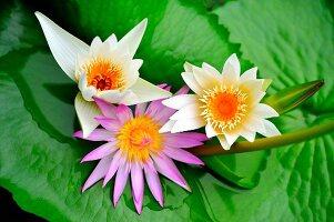 Lotusblüten mit Blättern