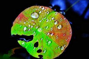 Lotusblatt mit Wassertropfen