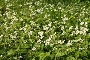 Strawberry field in flower