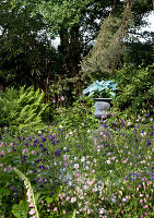 Flowering aquilegia of various colours in wild garden