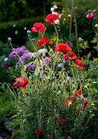Poppies in summer garden