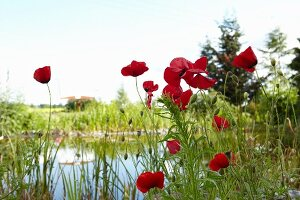 Red poppies next to pond