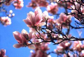 Magnolia blossom on the tree