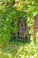 House facade and window grille overgrown with Virginia creeper