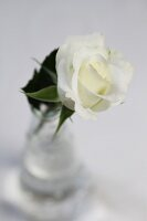 Single white rose in glass vase