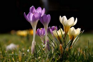 Crocuses in a field