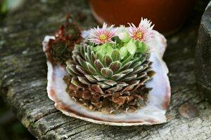 Flowering house leek in sea shell