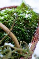 Snow-sprinkled moss in basket