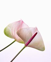 White arum lily flowers with pink veins and spadices