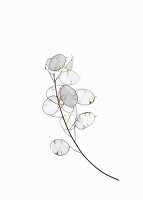 Round, silvery, shimmering membranes of dried honesty in autumn