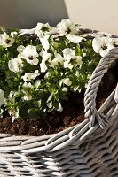 White violas planted in wicker basket
