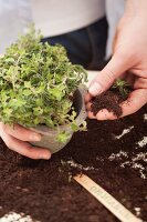 Oregano being planted in a plant pot