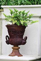A plant growing in an old metal garden urn