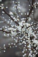 Blackthorn blossom in spring