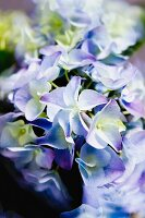 Blue hydrangea flowers (close-up)
