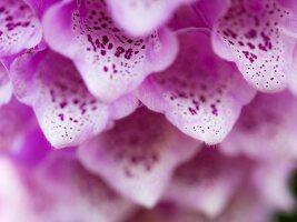 Close-up of a foxglove