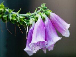 Purple Foxglove Flowers Growing in a Garden
