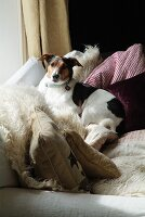 Small, piebald dog looking at camera and lying on comfortable sofa amongst many scatter cushions