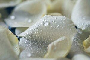 Wassertropfen auf weissen Rosenblättern