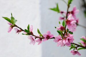 Close up of a pink, blooming cherry tree branch in front of a white limestone wall