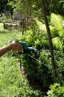 Trimming a boxwood hedge in the garden with a hedge clipper