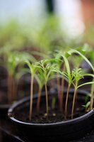 Young cosmos seedlings in black plant pots