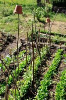 Young vegetable bed with long branches and plant pots to protect against insects