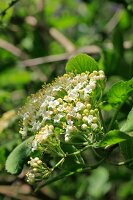 Detail close up of a small buds and flowers on a Guelder Rose