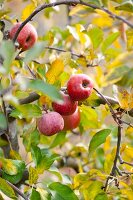 Rote Äpfel am herbstlichen Baum