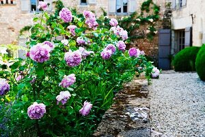 Violet roses in Mediterranean garden of simple, stone country house