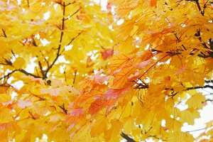 Bright yellow maple leaves