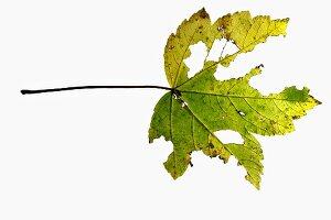Maple leaf eaten by caterpillars