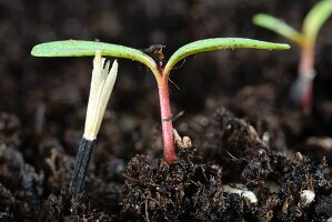 French marigold seedling in compost