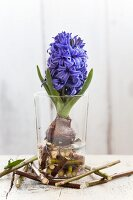 Hyacinth with bulb and short twigs in drinking glass